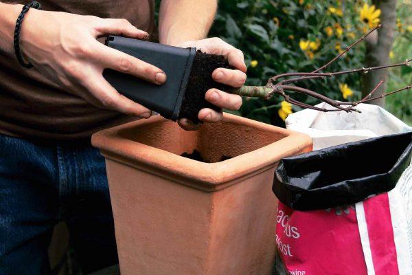 Nel caso si acquisti una pianta molto giovane, e quindi di piccole dimensioni, è possibile avviare la sua coltivazione in un vaso piccolo, tendendo presente che andrà sostituito poi