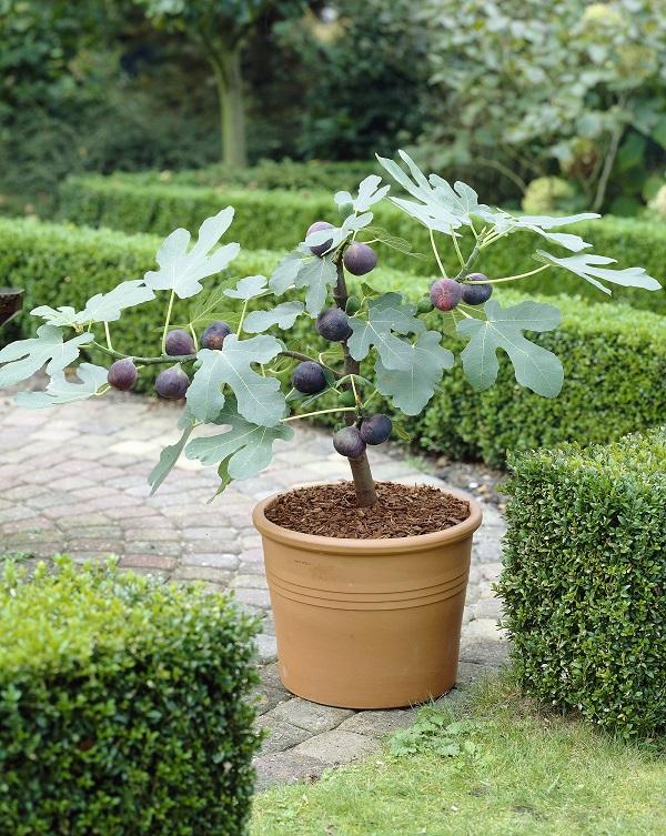 Come ottenere un abbondante raccolto di fichi guida giardino for Pianta di fico prezzo