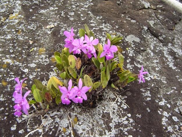 Orquídeas Rupículas
