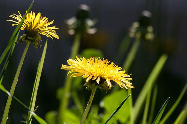 I fiori del dente di leone, cosi come le foglie, sono commestibili e decisamente gustosi