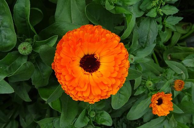 La calendola è una pianta perenne di piccole dimensioni che viene coltivata come annuale