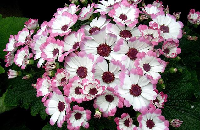 Le Cineraria sono bellissime piante fiorite molto diffuse come specie ornamentali sia per via della semplice coltivazione che delle splendide fioriture