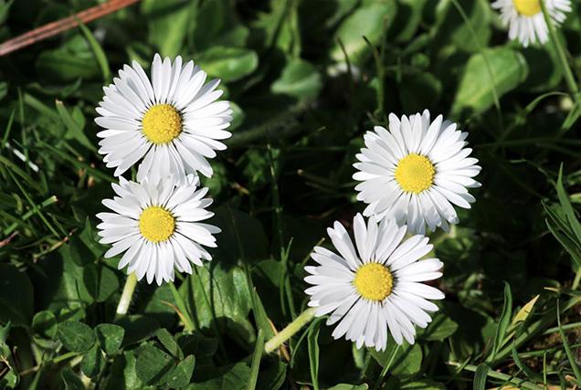 Questo fiore semplice e bellissimo al tempo stesso necessita di una posizione soleggiata o di ombra parziale, di un suolo ricco di materia organica e ben drenato