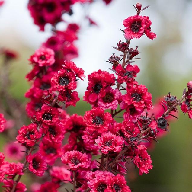 La specie Leptospermum scoparium, originaria dell'Australia e della Nuova Zelanda, può raggiungere anche i tre metri di altezza ed è caratterizzata da portamento arbustivo