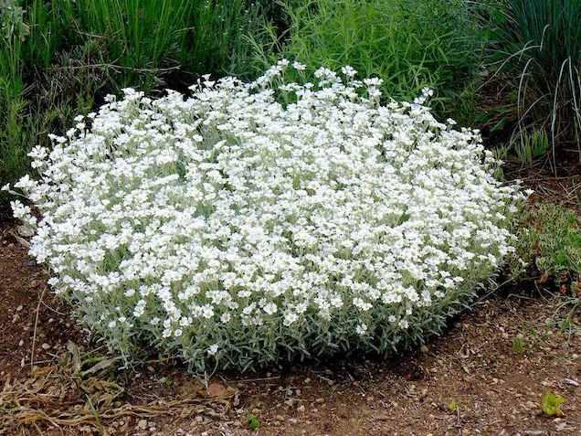 Il cerastio è una piccola pianta perenne dal portamento tappezzante che produce cespi tondeggianti, densi e ben ramificati