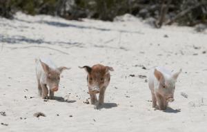 Los cerdos nadadores de Pig Island, Bahamas - Sin-título3-300x191