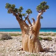 Socotra, un paraíso raro y único - rbol-pepino-300x300