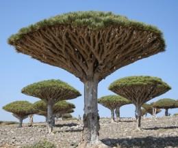 Socotra, un paraíso raro y único - Drago-Socotra-300x250