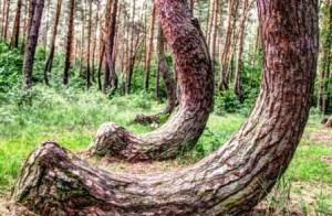 El bosque de Gryfino (Polonia) - Curvas-pinos-300x196