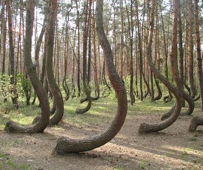 El bosque de Gryfino (Polonia)