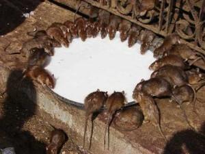 El templo de las ratas del Rajasthán - Ratas-Karni-Mata-bebiendo-leche-300x225