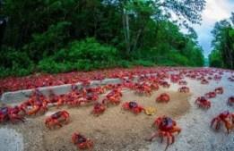 Isla de Navidad: el viaje del cangrejo rojo - Migracion-cangrejo-rojo1-300x194