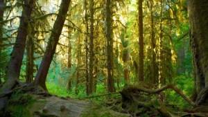 Bosque de Hoh (Washington, EE.UU.) - Bosque-de-Hoh-300x169