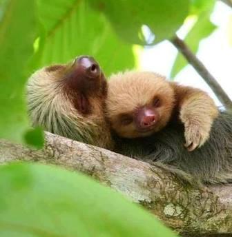 Sloth Sanctuary y los perezosos