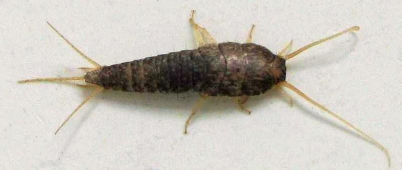 Museo Minas Serchs - Sólo hay dos animales capaces de producir celulasa y el pececillo de plata (Lepisma saccharina) es uno de ellos (3)