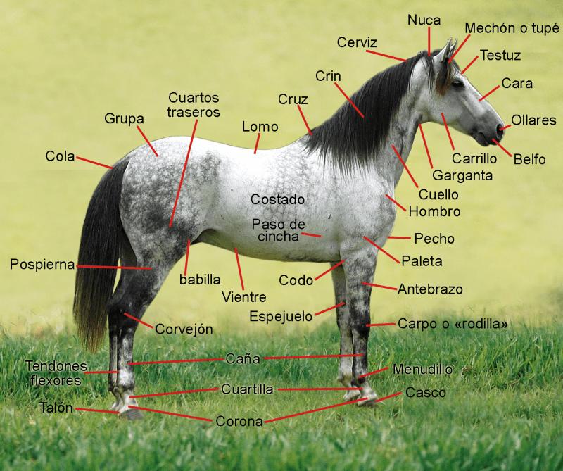 Museo Veterinaria Militar - Nomenclatura de cada una de las partes del caballo (1).