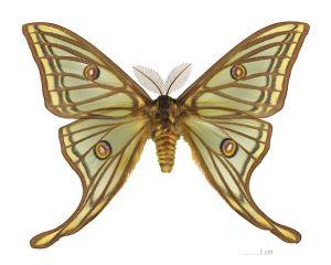 FuenteGeologos - La mariposa más majestuosa de Europa (Actias isabellae) fue descubierta por el entomólogo Mariano de la Paz Graells en la Sierra de Guadarrama (8).