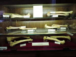 Museo Histórico-Minero - Distintos huesos de extremidades de osos.