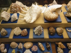 Museo Religioso-Paleontológico - Moluscos diversos del periodo Holoceno.