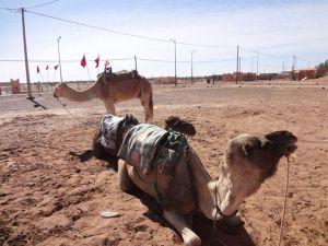 Dromedários em Mhamid Marrocos