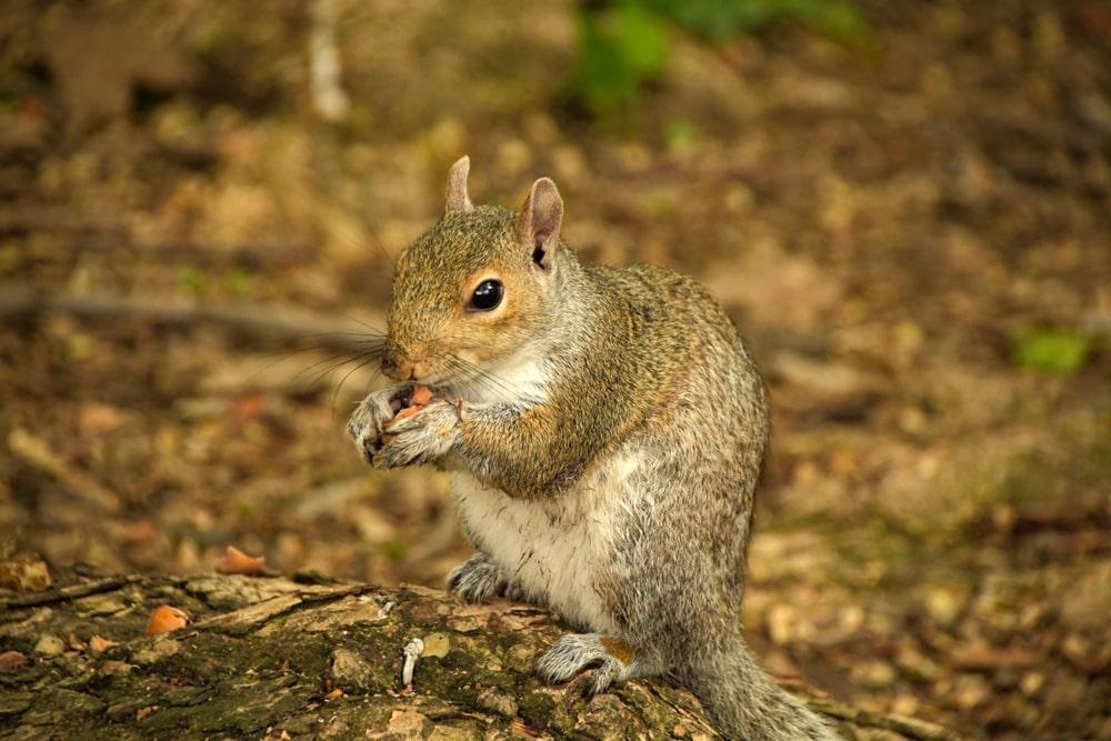 Esquilo no Central Park