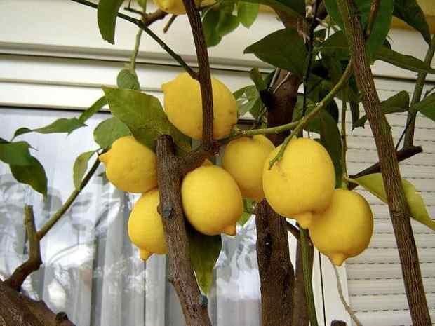 coltivare il limone sul balcone