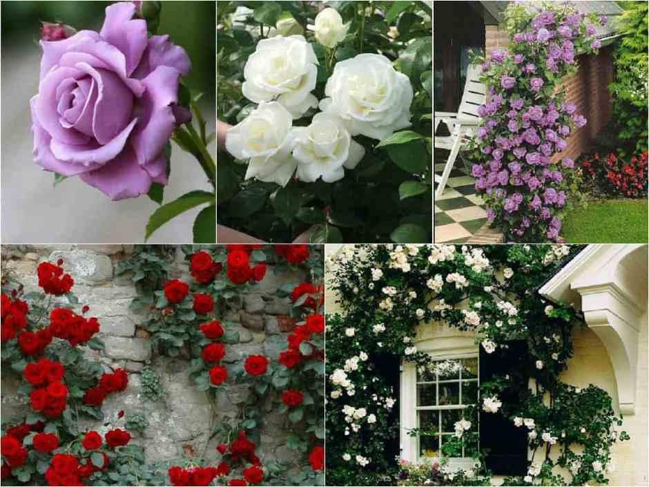 6 consigli per la coltivazione delle rose