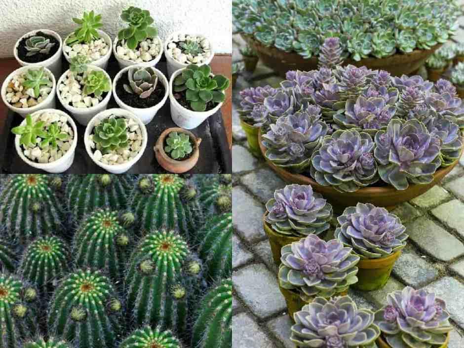 Come propagare le succulente