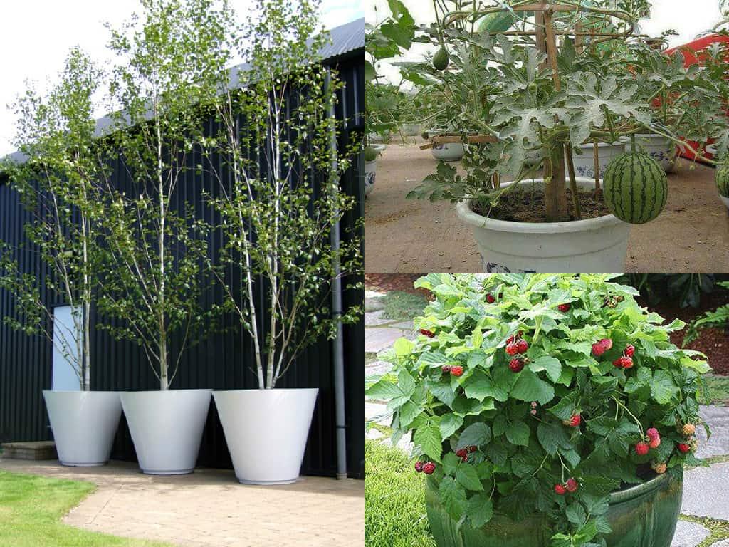 Piante stupende anche in vaso guida giardino for Piante da frutto nane in vaso