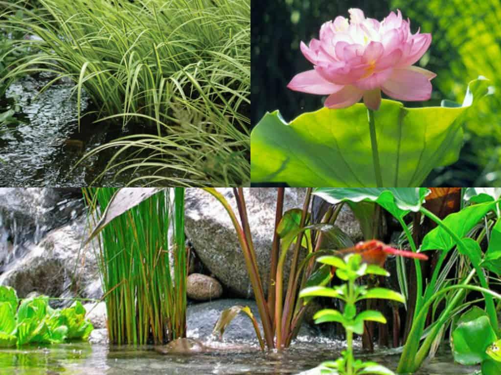 5 piante ideali per il laghetto guida giardino for Piante per laghetto
