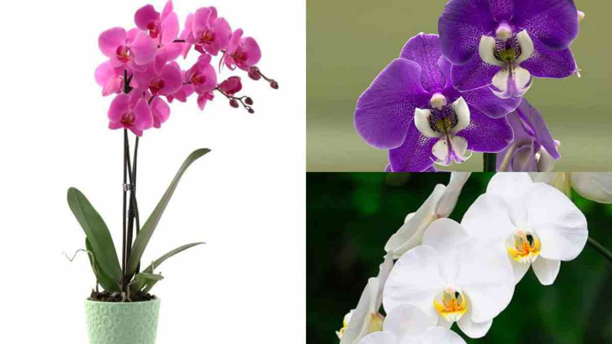 E Coltivare Con Successo Le Orchidee