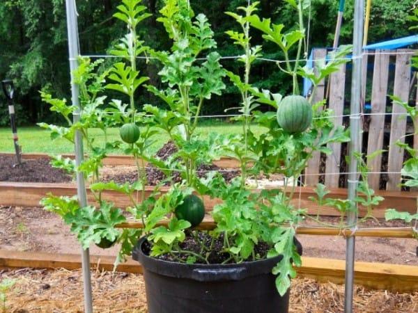 Come coltivare le angurie in vaso guida giardino for Coltivare meloni