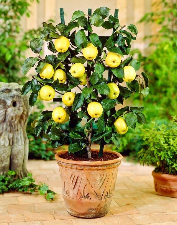 Come coltivare un melo in vaso guida giardino for Coltivare more in vaso