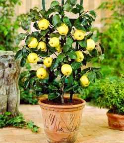 Come coltivare un melo in vaso