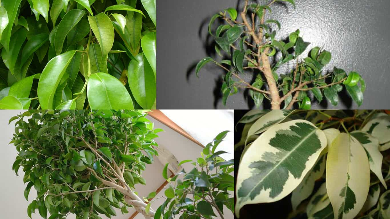 Cura Del Ficus Benjamin ficus benjamina: come coltivare - guida giardino