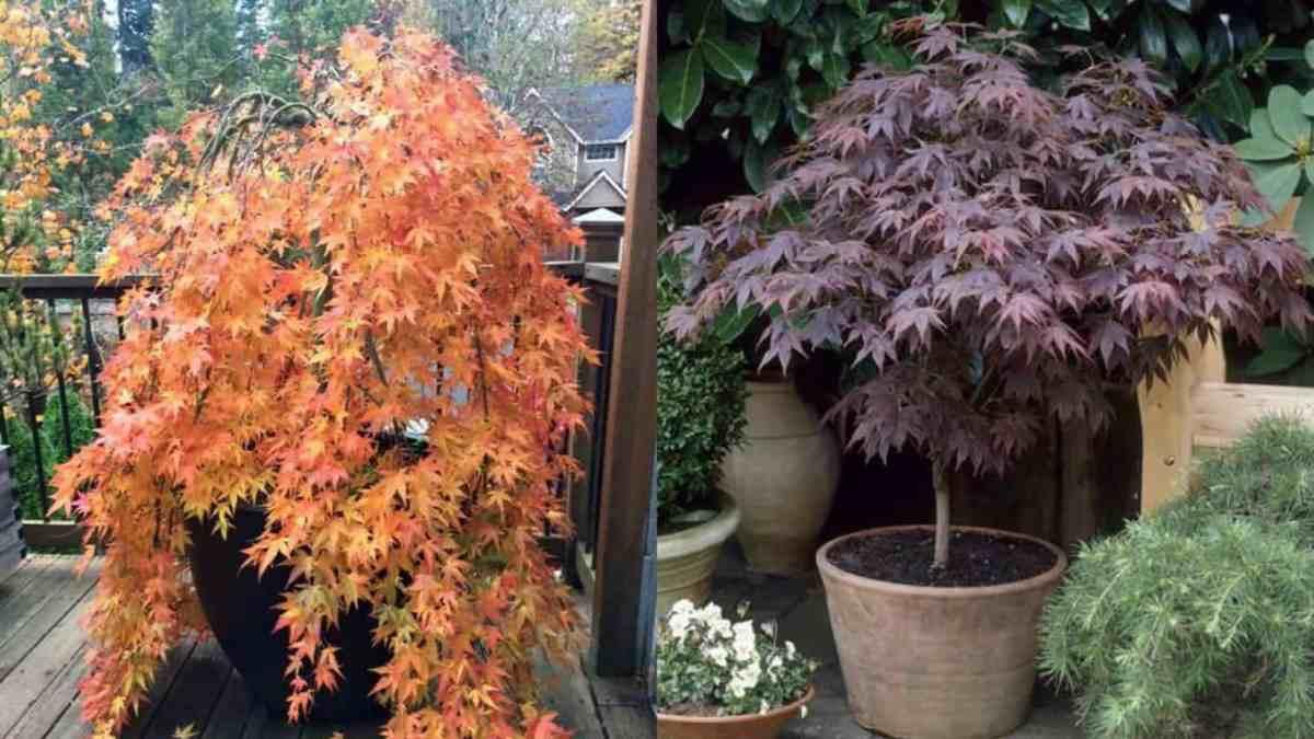 Acero giapponese come coltivarlo in vaso guida giardino for Aceri giapponesi