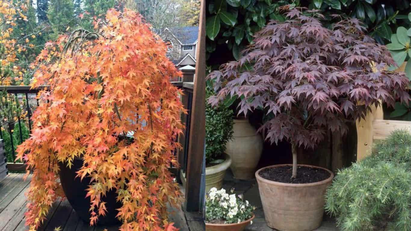 Perchè Acero Rosso Diventa Verde acero giapponese: come coltivarlo in vaso - guida giardino