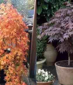 Acero giapponese: come coltivarlo in vaso