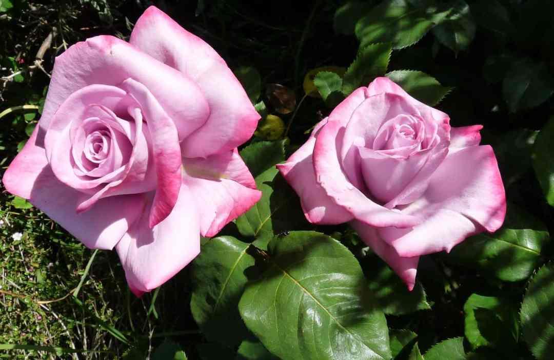La coltivazione della rosa è forse una delle passioni botaniche più diffuse del mondo: praticata a qualsiasi latitudine, in pieno campo, in vaso, nelle aiuole di giardini grandi e piccoli, sul balcone e in terrazza