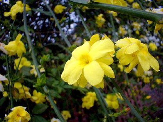 Il Jasminum Primulinum, una varietà di gelsomino dai fiori bianchi e gialli