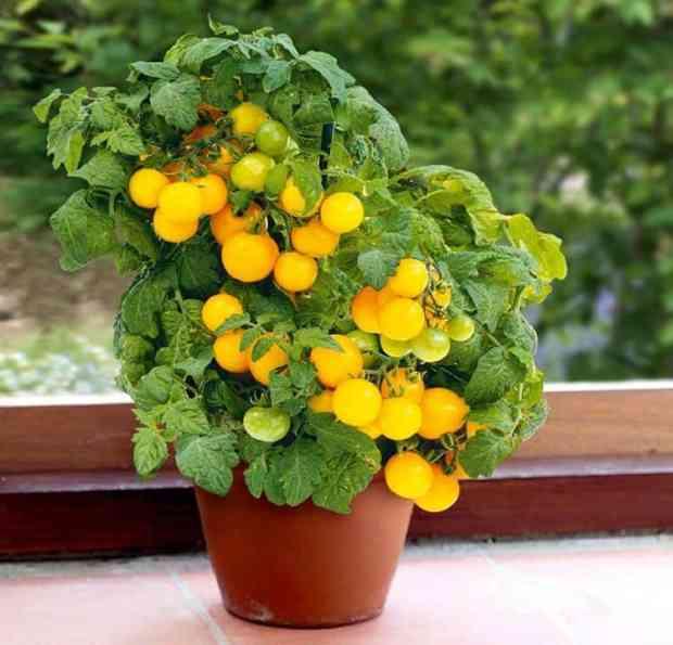 Pomodorini e pomodoro nano, per ovvie ragioni, si prestano benissimo a crescere in vaso