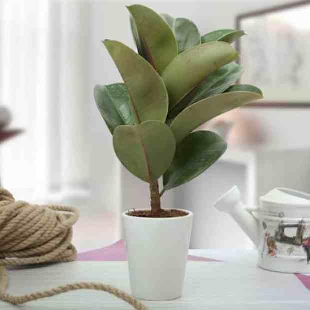 questa varietà di ficus ha un fusto dritto e foglie lucide, in grado di immagazzinare diverse quantità d'acqua durante i periodi più caldi