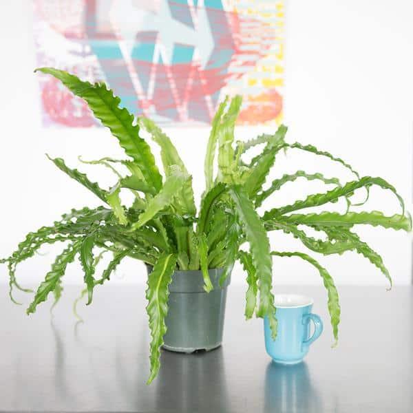 Tra le piante perfette per arredare l'ufficio, c'è sicuramente l'Asplenium Nidum