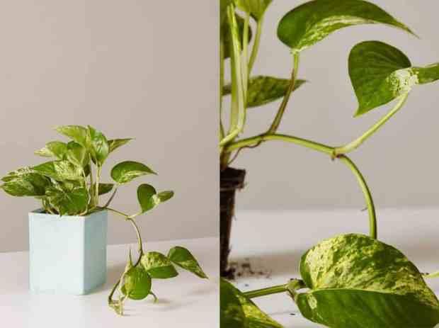 Il Pothos è una pianta vigorosa nota per i suoi lunghi rami.Nel suo habitat naturale, questa pianta si arrampica sugli alberi vicini e si estende attraverso il terreno forestale grazie ai suoi steli