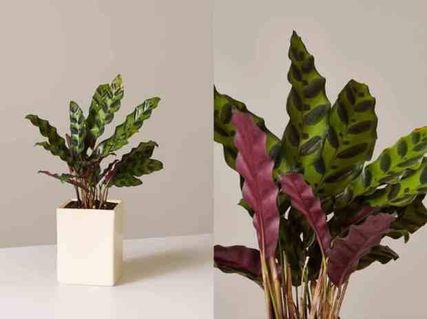 """Le Calatheas sono spesso chiamate anche """"piante da preghiera"""" per i loro unici movimenti fogliari: sollevano e abbassano le foglie dal giorno alla notte come parte del loro ritmo naturale"""