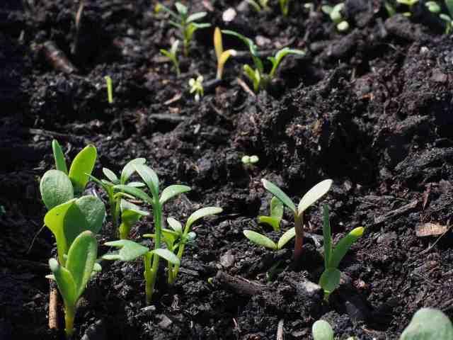 germogli in crescita nell'orto