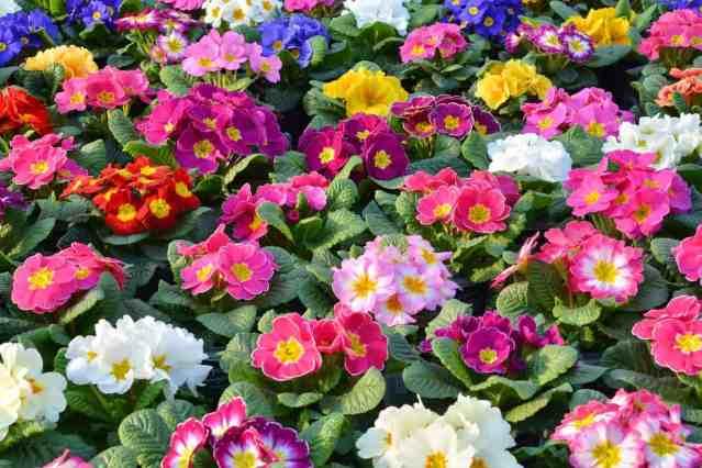 La primula è un fiore famoso e conosciuto da sempre e forse non tutti sanno che molto spesso è stata celebrata nella poesia ma anche nella musica