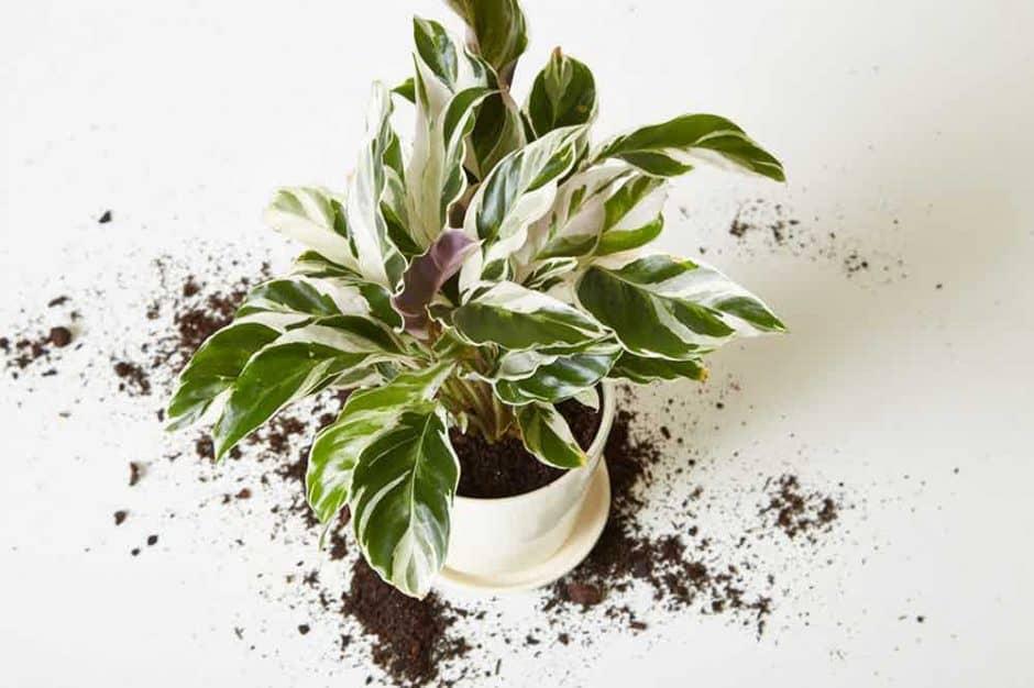 Rinvasare non significa necessariamente cambiare il vaso di una pianta: può significare anche solo semplicemente cambiare il terreno di invasatura