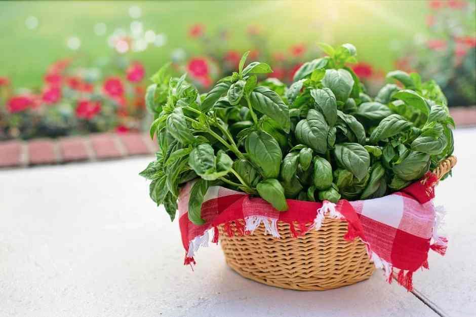 Cesto di basilico, la pianta aromatica dell'estate
