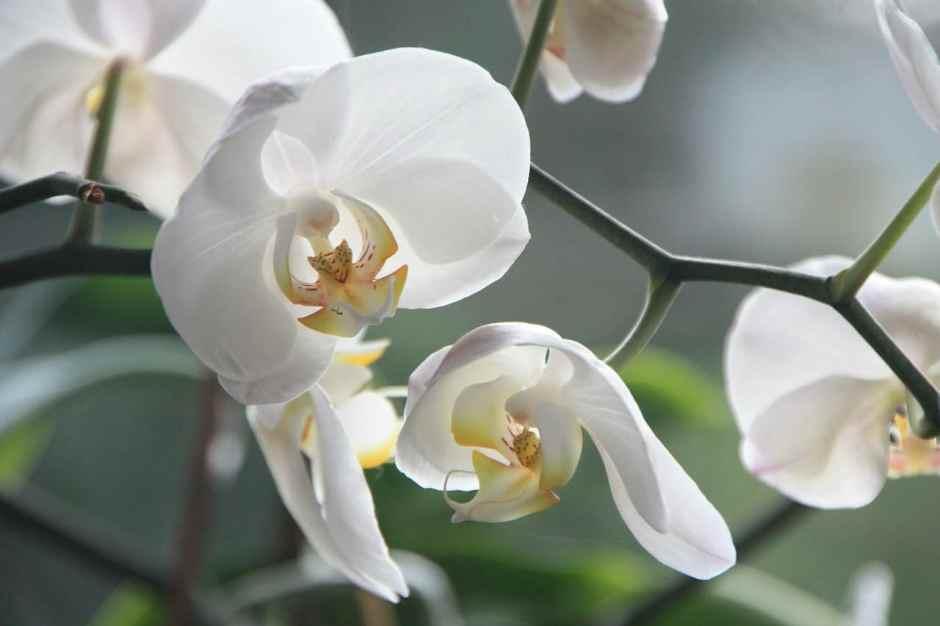 Lo stato di salute dell'orchidea va monitorato costantemente, anche perché si tratta di un fiore che davvero può deperire senza un motivo apparente, così, all'improvviso